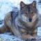 lobogdlwolf