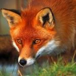 foxackro