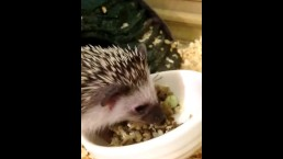 My Hedgehog is Better than your Cat Video