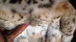 Cock on lynx fur