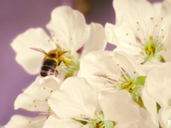Trans bee pops shy cherry blossom
