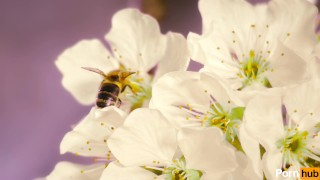 Trans bee pops shy cherry blossom