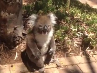 Pornos De Revista Paparazzi Koala Gets Pushed Out Of Tree :(, Sfw
