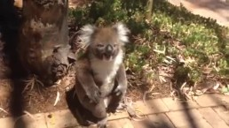 koala gets pushed out of tree :(